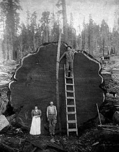 Tree Felling 1